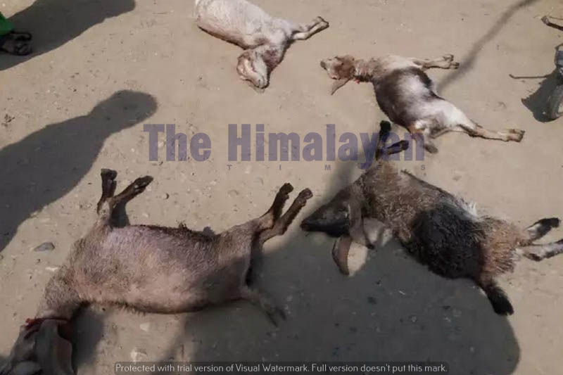 Goats are seen motionless after attacked by dogs in Bara district, on Sunday, April 12, 2020. Photo: Puspa Raj Khatiwada/THT