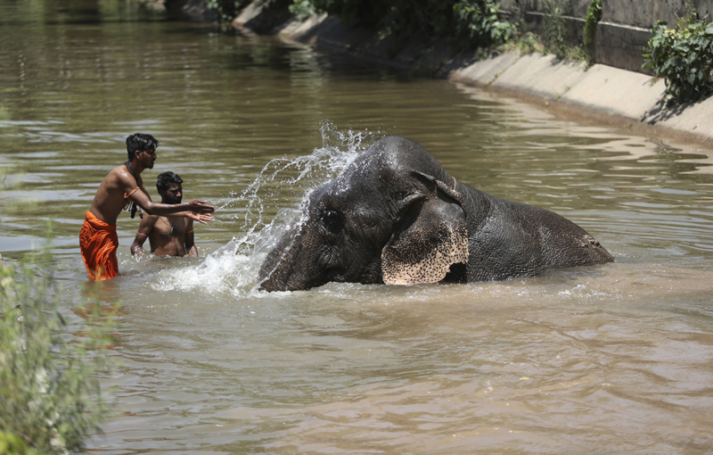 Mahouts bathe a domestic elephant on a summer day in Jammu, India, Tuesday, May 26, 2020. Photo: AP