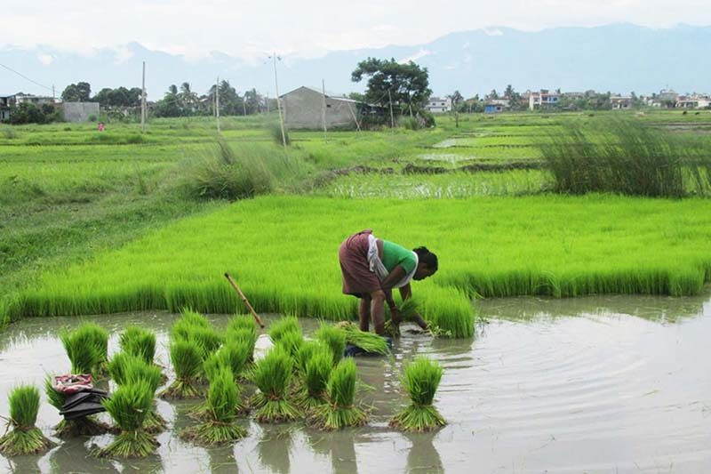 A woman is seen preparaing paddy saplings to plant, in Gaisar, Itahari-7 of Sunsari. Photo: RSS