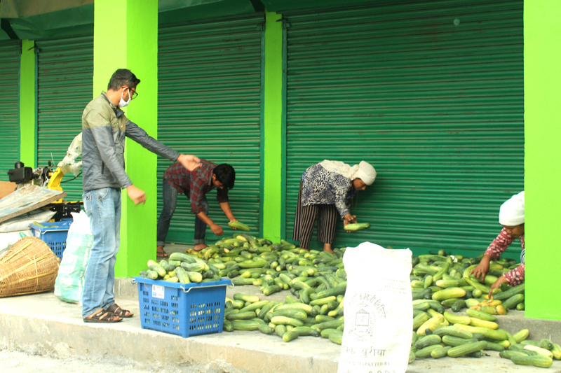 Local vegetable traders picking cucumber from storage at Milijuli Agricultural Cooperative Ltd, in Baradi, Aanbukhaireni Rural Municipality-1, Tanahun district, on Wednesday, May 6, 2020. Photo: Madan Wagle/THT
