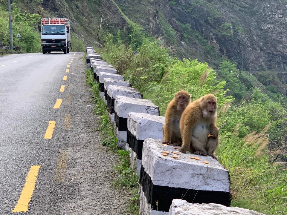 Monkeys sighted on Abukhaireni-Muglin road section of Prithvi Highway in lack of people and vehicles due to the government-imposed nationwide lockdown, on Saturday, May , 2020. Photo: Madan Wagle/THT
