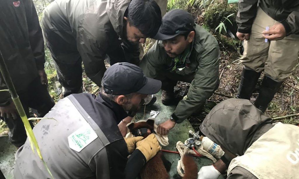A team of technicians from The Red Panda Network fixing a satellite collar on a red panda for research purpose at Sandakpur, Panchthar, on Monday. Photo: THT