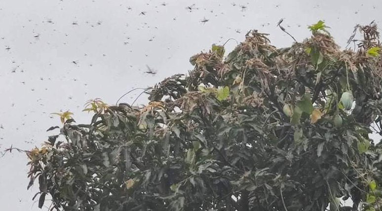 A swarm of locusts that entered the country from India hovering over a tree in Bara, on Saturday. Photo: THT