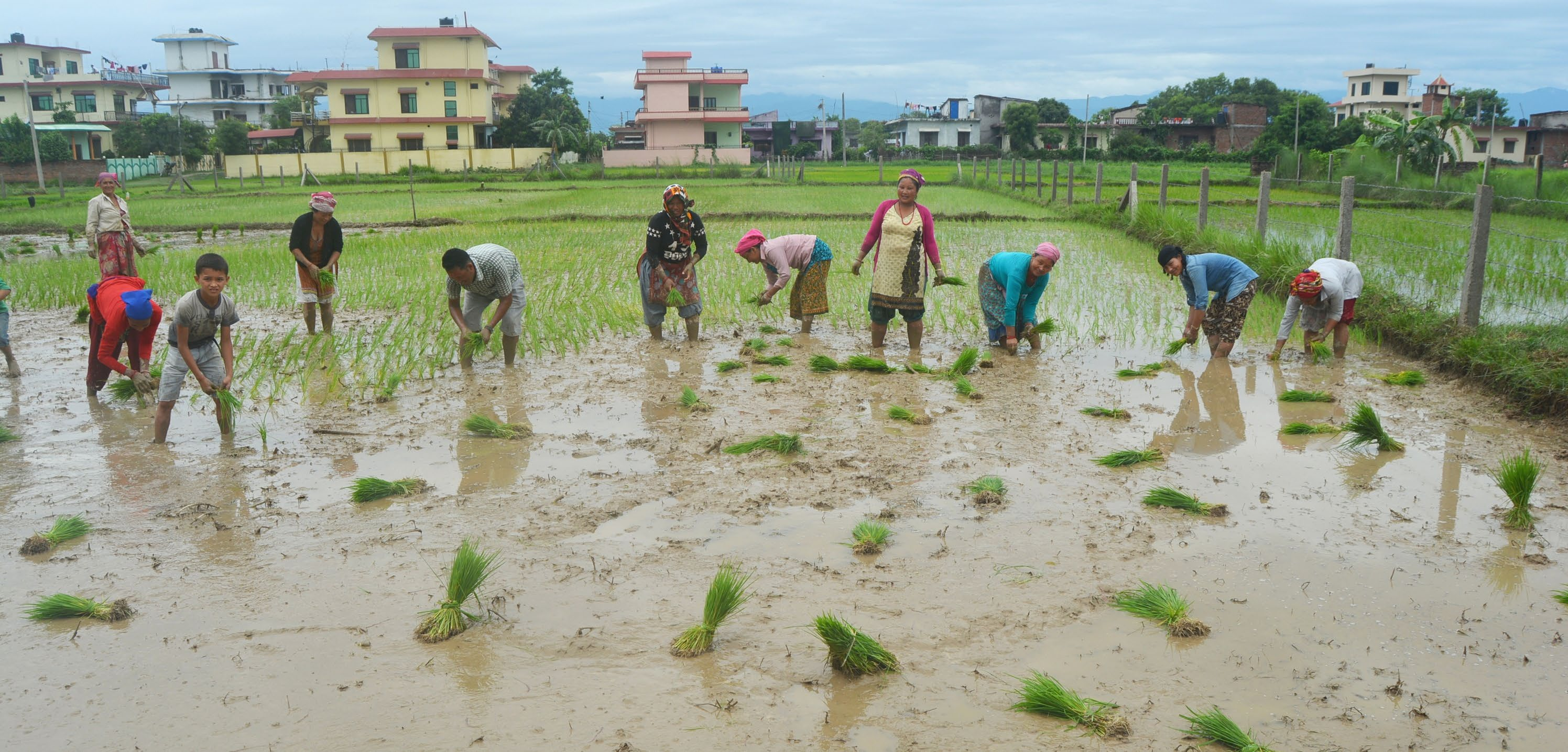 Farmers planting paddy in Bhairahawa, on Thursday. Paddy plantation is in full swing across the country. Photo: THT