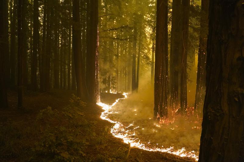 A forest burns as the CZU August Lightning Complex Fire advances, Thursday, Aug. 20, 2020, in Bonny Doon, Calif. Photo: AP