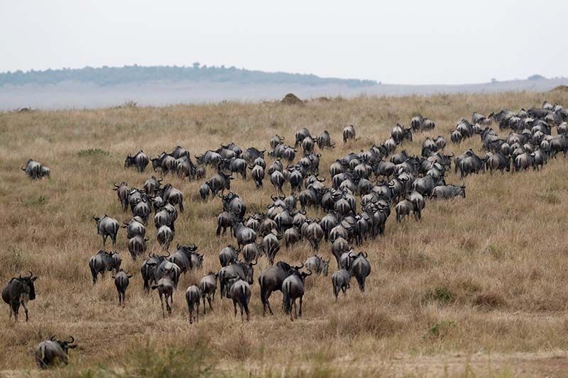 Wildebeests (Connochaetes taurinus) are seen after crossing the Mara river during their migration to the greener pastures, between the Maasai Mara game reserve and the open plains of the Serengeti, southwest of Nairobi, in the Maasai Mara game reserve, Kenya, on August 9, 2020. Photo: Reuters
