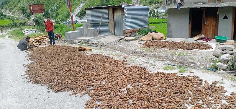 A man standing beside 'Setak Chini' a type of herbs being dried in Sun, in Jadanga, Budhiganga Municipality of Bajura district, on Monday, August 3, 2020. Photo: Prakash Singh /THT