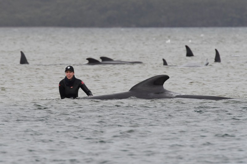 Rescue efforts to save whales stranded on a sandbar take place at Macquarie Harbour, near Strahan, Tasmania, Australia, September 22, 2020. Photo: AAP Image/The Advocate Pool, Brodie Weeding via Reuters