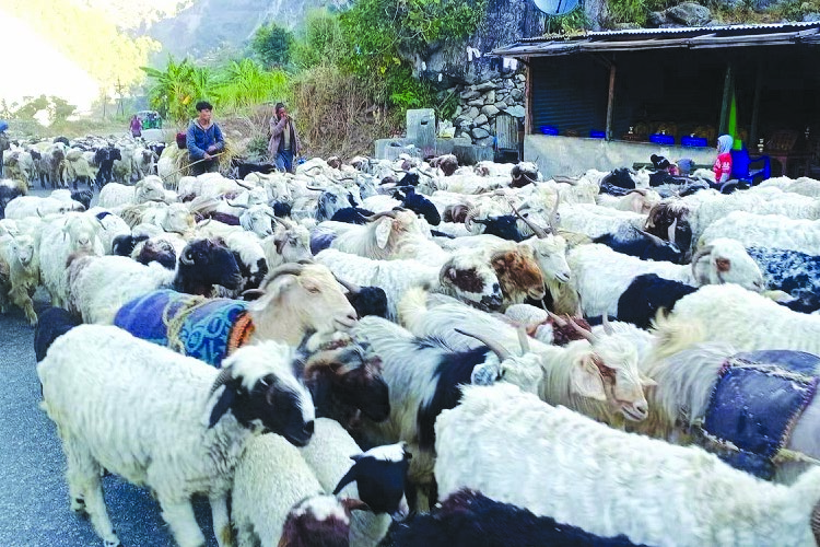People from the upper belt of Bajura taking their mountain goats to Achham to avoid cold, on Wednesday. Photo: THT