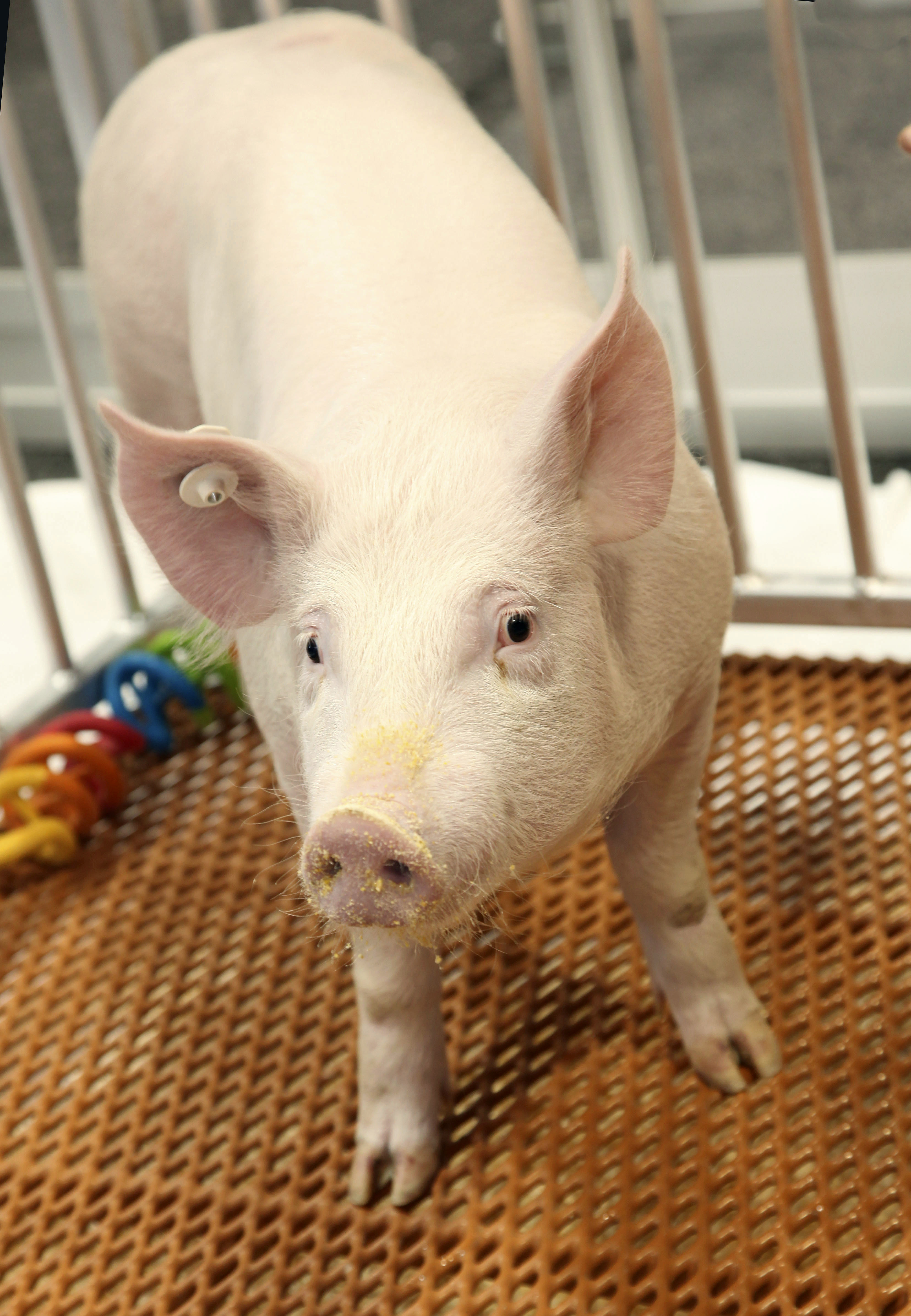 This undated photo provided by Revivicor, Inc., a unit of United Therapeutics, shows a genetically modified pig. U.S. regulators have approved a genetically modified pig for food and medical products, making it the second such animal to get the green light for human consumption -- but United Therapeutics, the company behind it says there are no imminent plans for its meat to be sold. Photo: AP