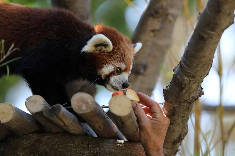 A red panda is fed inside its enclosure after arriving from Japan as part of a worldwide conservation project of this animal in danger of extinction at the Buin Zoo in Buin, Santiago, Chile, on December 3, 2020. Photo: Reuters