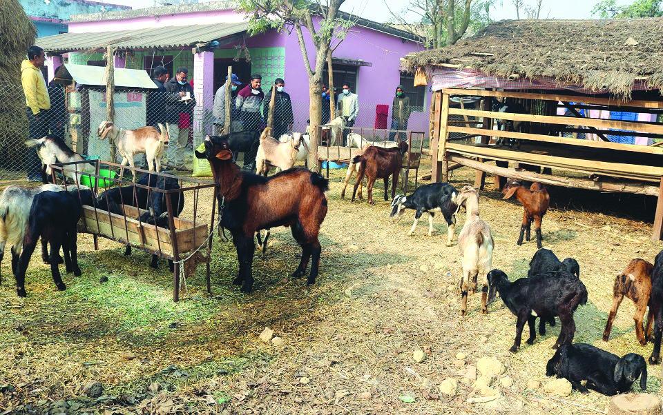 A livestock farm started by a returnee, in Dhangadi sub-metropolis. Photo: THT