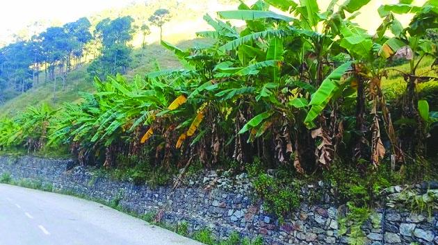 A view of banana farm in Badimalika Municipality, Bajura, on Thursday. Photo: THT